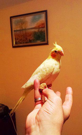 как приручить попугая кореллу