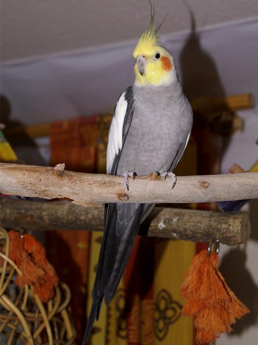 попугай корелла в домашних условиях