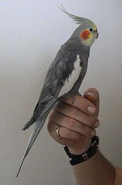 содержание попугая корелла