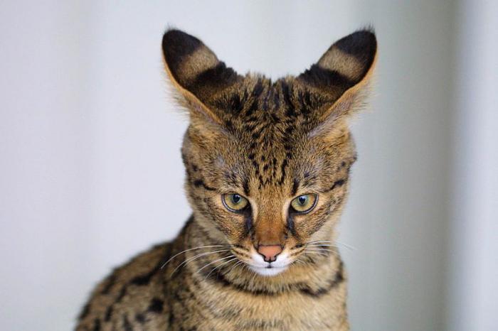 кошки больших размеров порода фото
