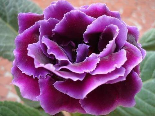 Цветы глоксинии посадка и уход
