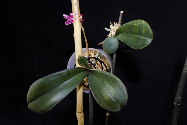 Как размножить орхидею в домашних условиях черенками и 48