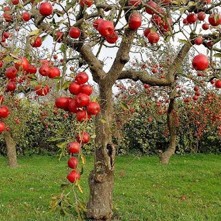 Саженцы облепихи размещаются на приусадебных участках и в садах следующим образом: на 2 женских растения должно быть...