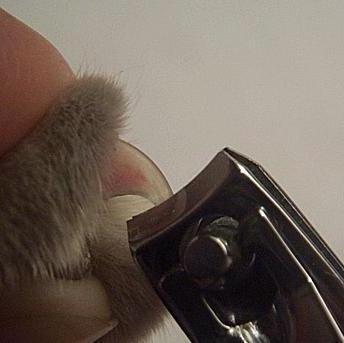 Как подстригать ногти шпицу видео - b18