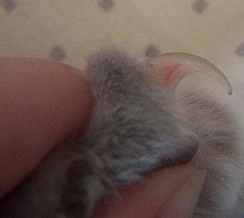 как подстригать когти кошке