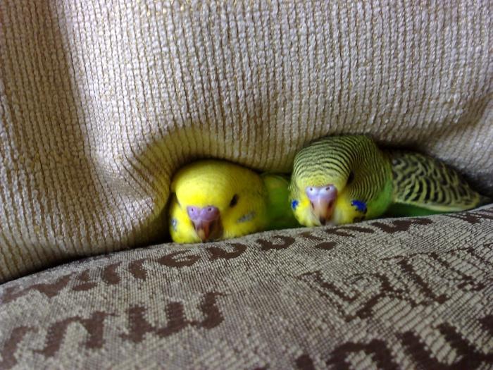 Попугаи: виды домашних попугайчиков, как выбрать и сколько 28
