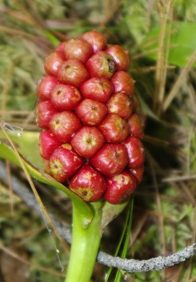 цветок белокрыльник