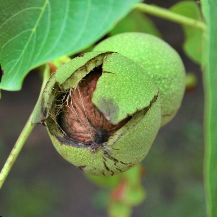 Як посадити горіх з горіха
