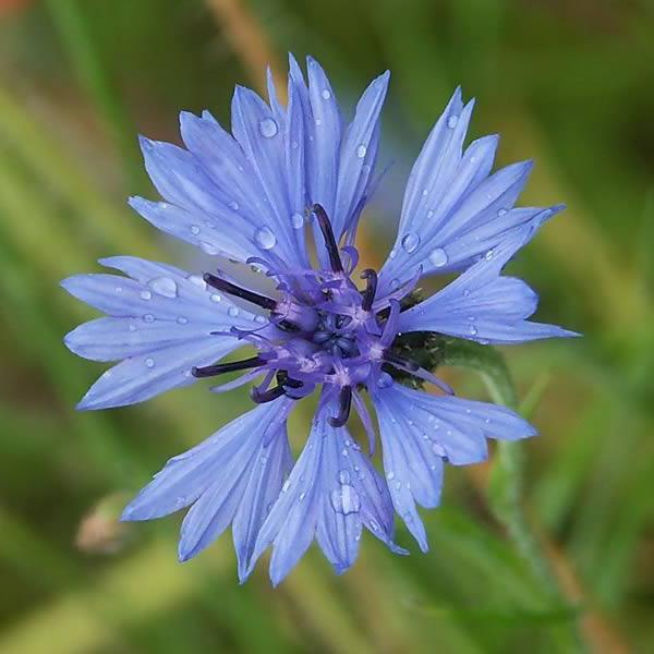 названия синих полевых цветов