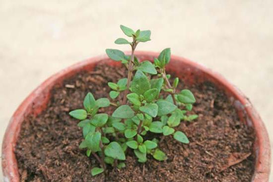 Чабер огородный выращивание из семян когда сажать 69