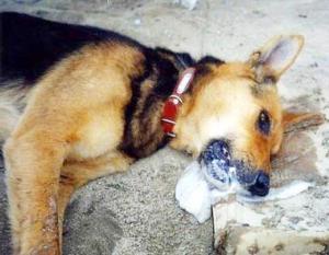 водка собаке при отравлении инициатива