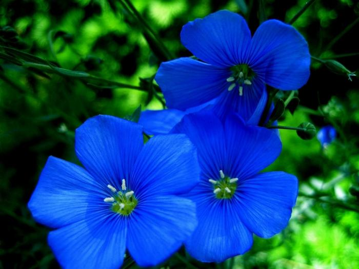 Синий цветок название с фото