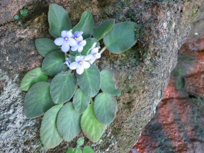 Фиалка родина растения состав почвы