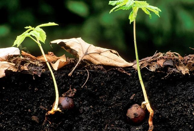 Как посадить каштаны из ореха в домашних условиях видео