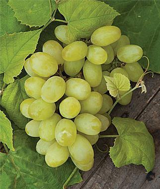 Виноград посадка осенью