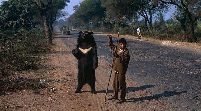 белогрудые медведи обитают в лесной зоне