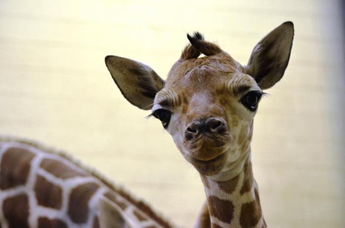 детеныш жирафа фото