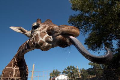 как называется детеныш жирафа