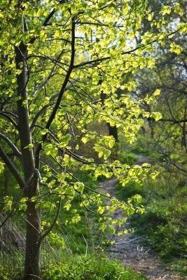 Липа листья фото