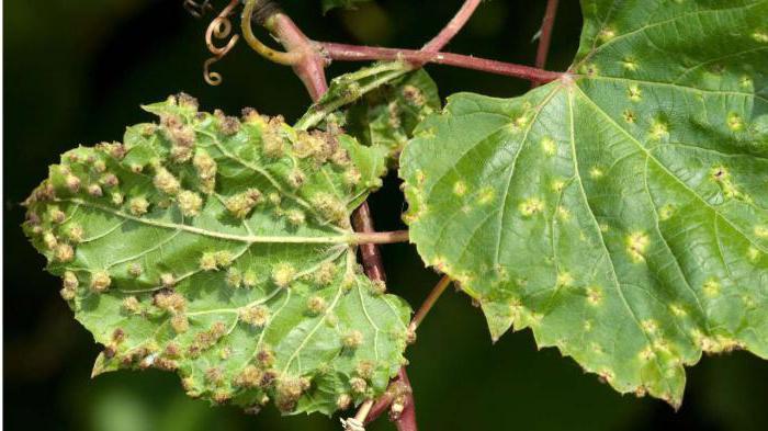 сорта винограда устойчивые к филлоксере