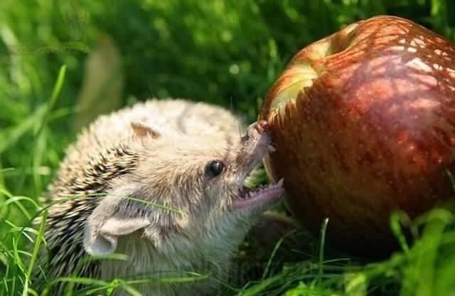 едят ежики яблоки