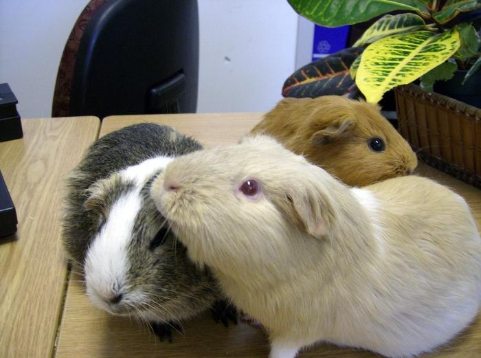 Сколько живут свинки в домашних условиях 3