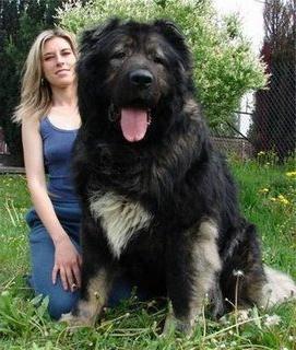 Самые крупные собаки в мире - о каких породах идет речь?: http://fb.ru/article/118568/samyie-krupnyie-sobaki-v-mire---o-kakih-porodah-idet-rech