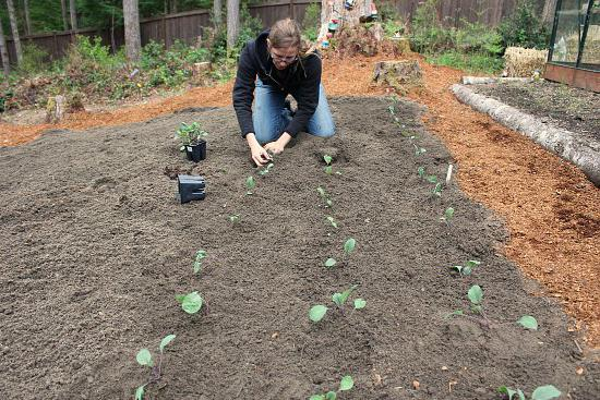 at what distance should cabbage be planted