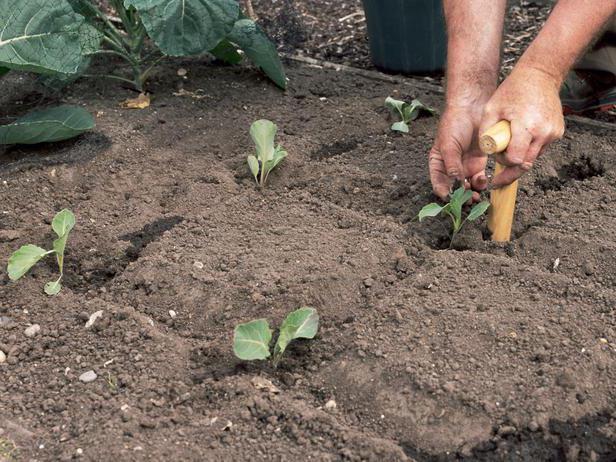 Какой сорт цветной капусты лучше сажать в подмосковье в открытый грунт 57
