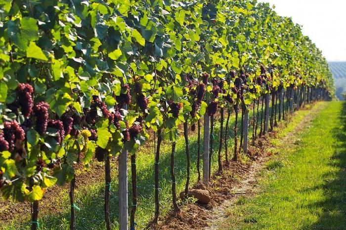Выращивание сортового винограда 57