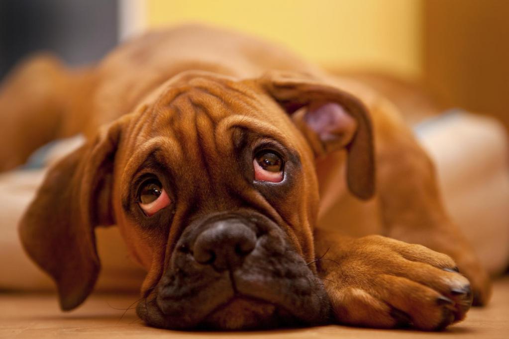 Синдром красного глаза у собаки.