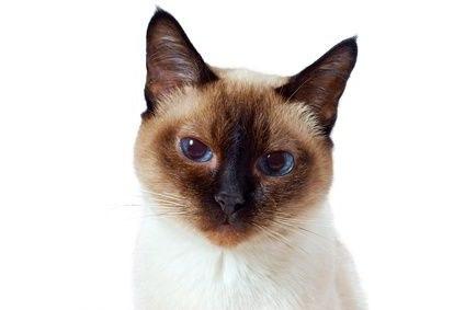 кальцивироз у кошек фото