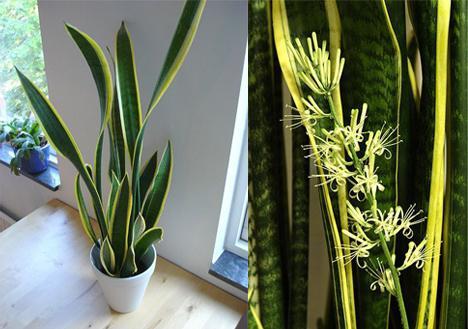 Цветок щучий хвост: вред и польза растения, уход и размножение