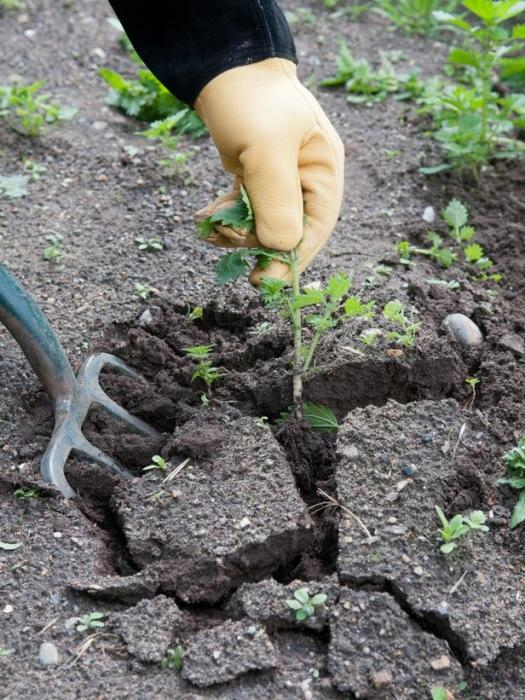 Как избавиться от осота на огороде: несколько действенных способов