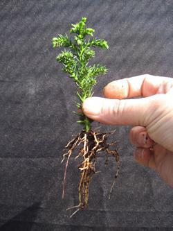 как вырастить бонсай из сосны