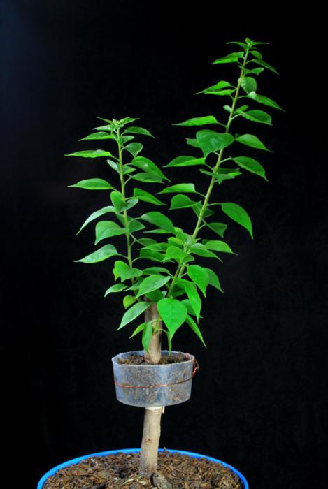 как вырастить дерево бонсай