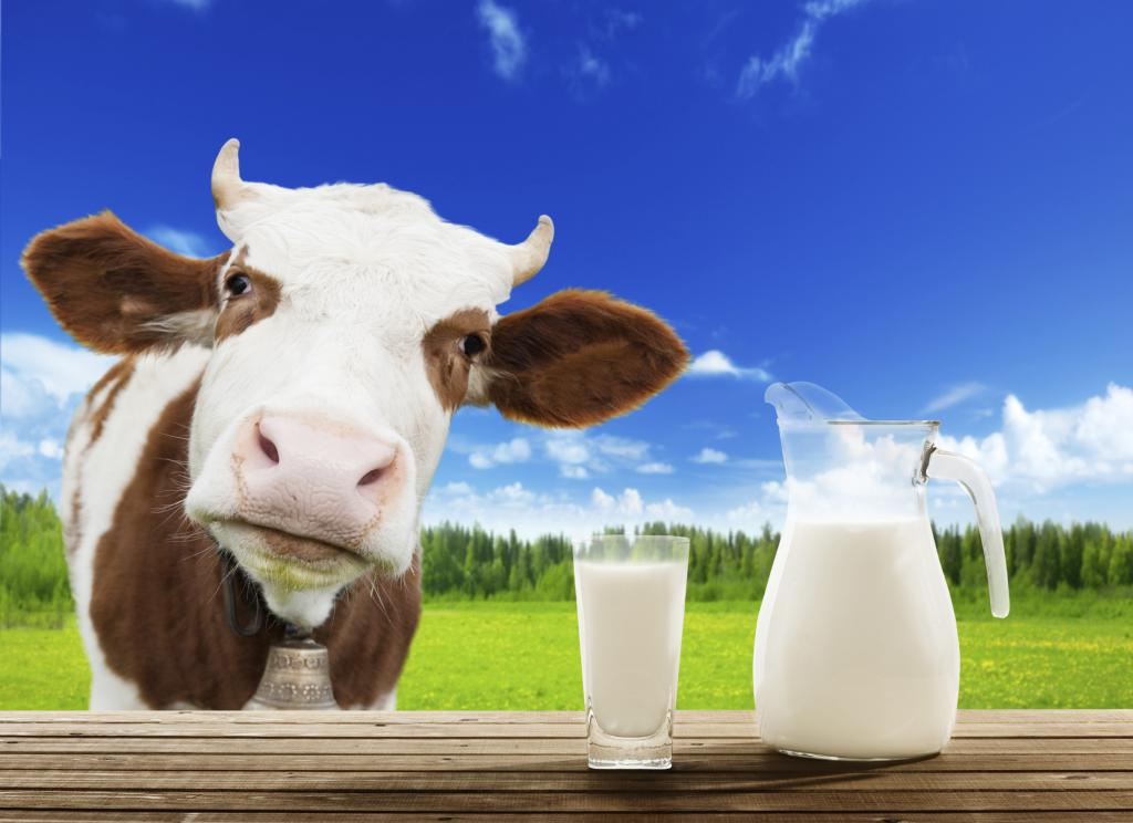 milk from a cow