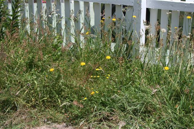 Как уничтожить пырей на огороде
