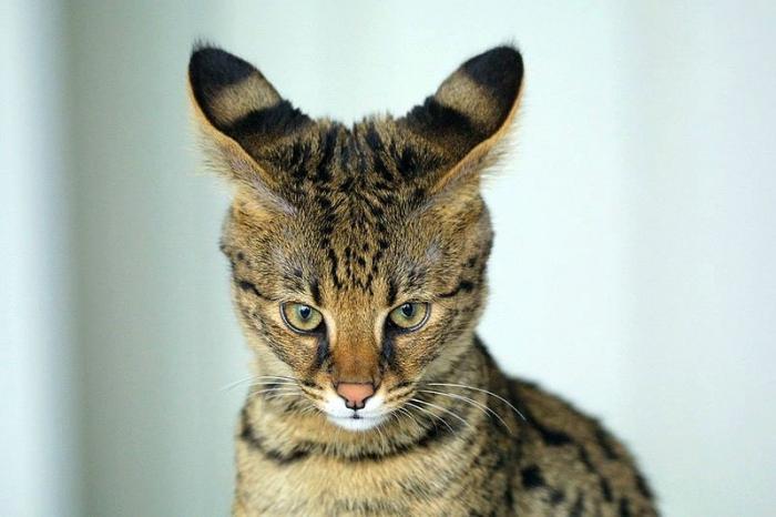 Самые прекрасные коты в мире. Перечень пород с фото