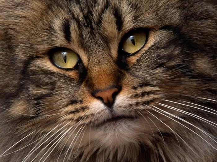 Уникальная порода кошки — сибирская