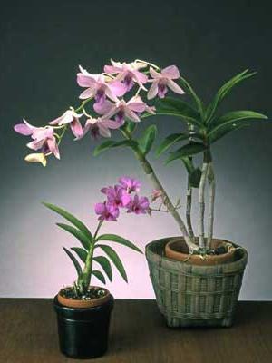 орхидея дендробиум отцвела что делать
