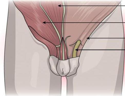Киста семенного канатика у мальчика: причины, фото, лечение, операция, отзывы, последствия