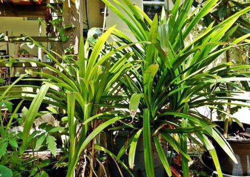 виды и названия комнатных пальм в домашних условиях