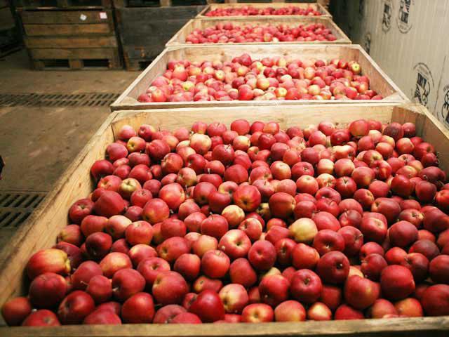 сорт яблони подарок графскому