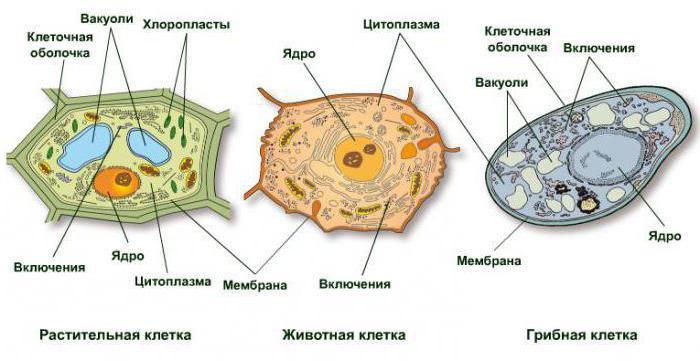 схема строения клетки гриба