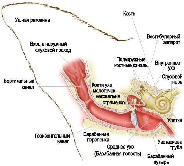 Анатомия уха собаки
