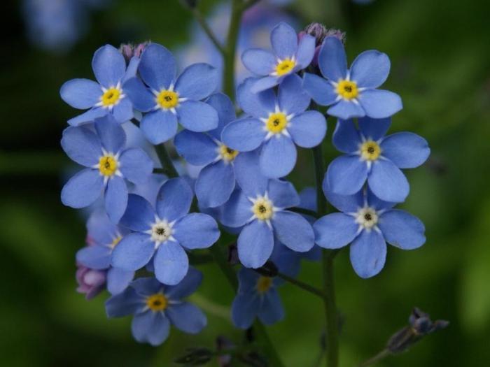 Синие полевые цветы фото и названия
