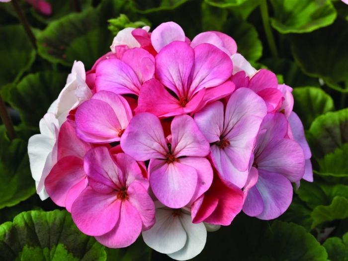 Почему не цветет герань в домашних условиях