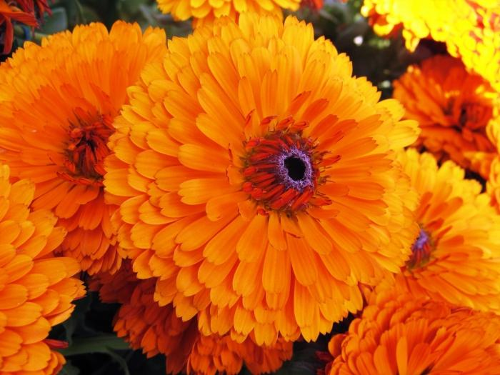 Календула цветок выращивание 83
