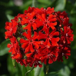 цветок лихнис фото
